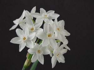 Think Spring: Forcing Bulbs